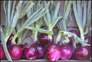 red onions with stalks - onions are an amazing value food, one recommended in our guide to learning how to eat paleo on a budget