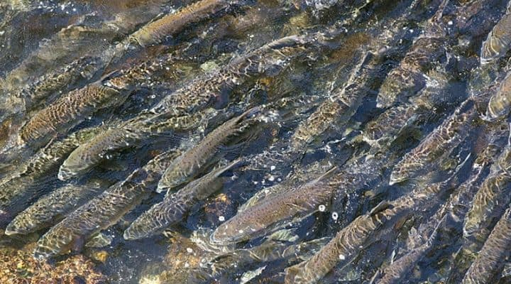 Photo of salmon run in Alaska - the featured image for our article on Paleo Salmon Jerky and Wild Salmon Jerky (hopefully the photo is enticing about wanting to eat natural, sustainable salmon). In this article we cover different options for dried salmon products.